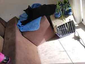 Please help Lost black cat Dakabin Pine Rivers Area Preview