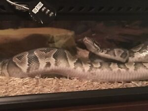 Ball python 1 year old snake, cage and accessories.