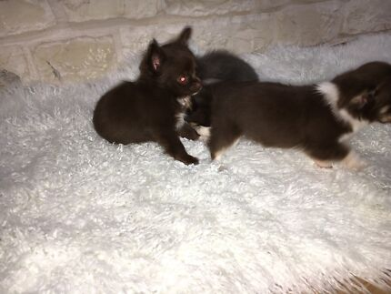 Chihuahua pure bred smooth coat