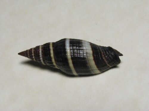 "Vexillum caffrum Linnaeus, 1758 ""BEAUTIFUL!"" (39.2mm)"