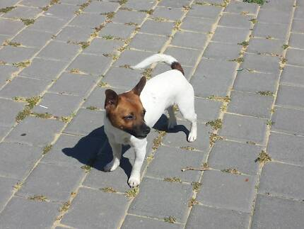 jack Russell x maltese Wanneroo Wanneroo Area Preview
