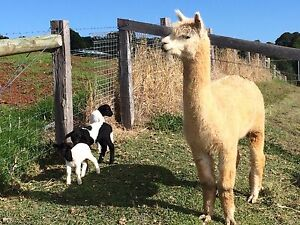 Alpaca - stud males and wether Alstonville Ballina Area Preview
