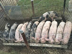 Piglets for sale Spring Creek Lockyer Valley Preview