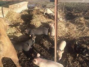 Free Range Pigs Maitland Maitland Area Preview