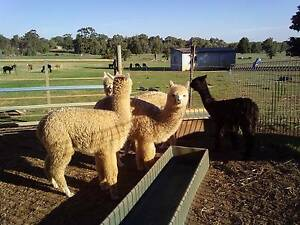 Alpaca young females For Sale Bullsbrook Swan Area Preview