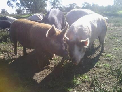 3 Pigs , gilts Free range Berkshire X Landrace/Largewhite