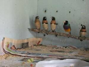 Finches for Sale Thornton Maitland Area Preview