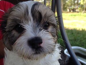 King Charles caviller x Maltese Chambers Flat Logan Area Preview
