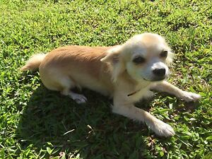 Purebred long hair male chihuahua Babinda Cairns Surrounds Preview