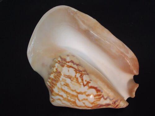 "Collector Fave...STROMBUS LATISSIMUS~144mm/5 3/4""~Philippine SEASHELL"