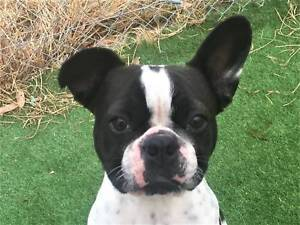 French Bulldog, female, 2 years, brindle pied, regd, ster, vacc,