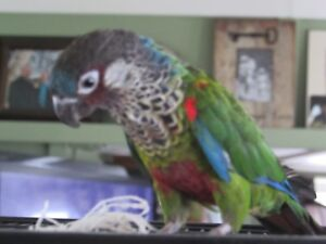 Looking for FEMALE PAINTED CONURE