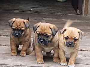 puppies 4 sale Redland Bay Redland Area Preview