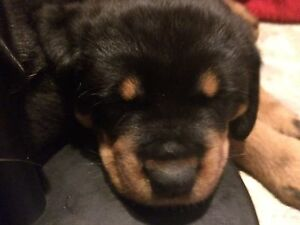 one female American Rottweiler left! Belleville Belleville Area image 2