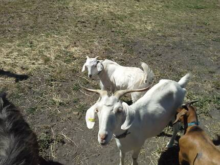 Pygmy x Goat twin boys