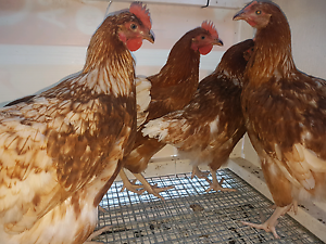 Point of lay CHICKENS Clontarf Redcliffe Area Preview