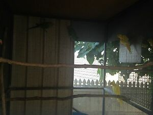 Yellow-Green Indian Ringneck Pair for $200 Wishart Brisbane South East Preview