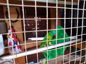 Lost scaly breasted lorikeet Wallsend Newcastle Area Preview