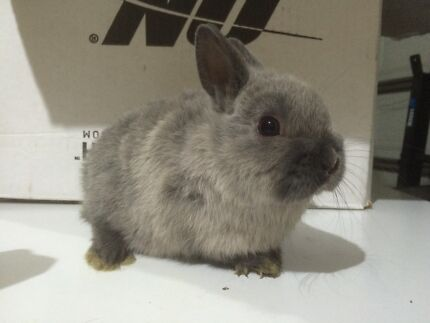 Netherland dwarfs babies super friendly. free delivery localy Taylors Lakes Brimbank Area Preview