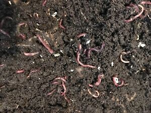 Red wiggler worms and vermicompost