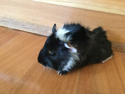 Male baby Guinea Pig - 5 weeks old (2 of 3) West Pymble Ku-ring-gai Area Preview