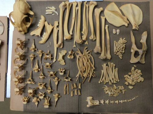 Taxidermy skeleton real bobcat dissarticulated sorted by bone type