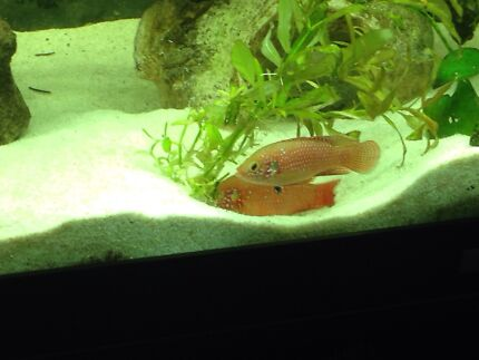 Convict Fish For Sale Fish For Sale Breeding Pair
