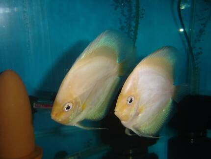 Proven breeding pair - White Diamond Discus (may swap) Eight Mile Plains Brisbane South West Preview