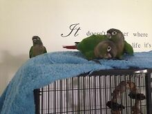 Green cheek conures - hand raised. Merrimac Gold Coast City Preview