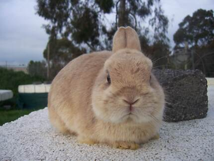 Purebred Lynx Netherland Dwarf Rabbit Buck For Sale. Bayswater Knox Area Preview