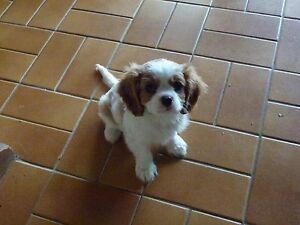 KING CHARLES CAVALIER Lismore Lismore Area Preview