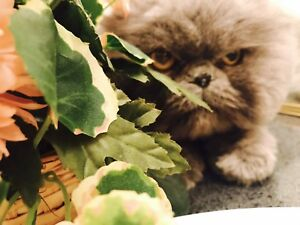 Persian Cat born on Mar 26 2014 Grey Male