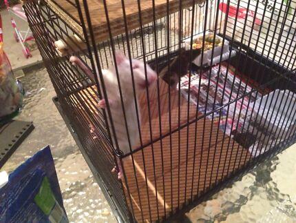 4 PET rats for sale (female)  Caravonica Cairns City Preview