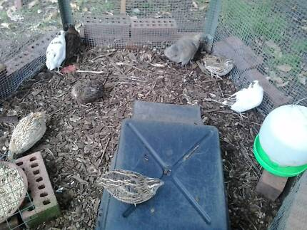 japanese quail eggs fertile Kelmscott Armadale Area Preview