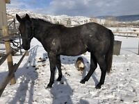 Coming 2 yr old QH