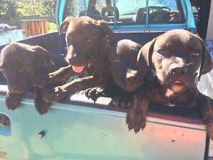 Australian Bandog puppies