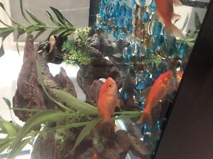 Goldfish | Buy or Sell Fish in Ontario | Kijiji Classifieds