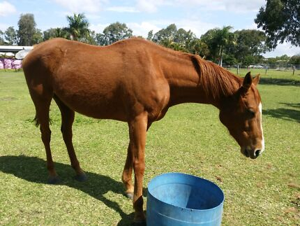 Chestnut Thoroughbred Mare 16.2hh - 8 yr old Horse Narangba Caboolture Area Preview