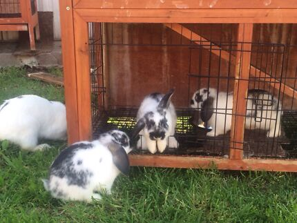 Rabbits for sell Lalor Whittlesea Area Preview