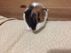 Guinea Pig - Baby Male