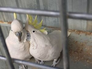 Cockatoo pair Armidale Armidale City Preview