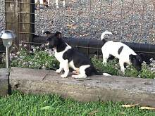 Mini Foxie Pup Black and White Salt Ash Port Stephens Area Preview