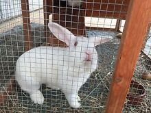 Two bunnies for sale Hahndorf Mount Barker Area Preview