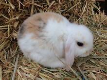 Two 8 week old mini lop baby boy rabbits. Super sweet temperament Box Hill Whitehorse Area Preview