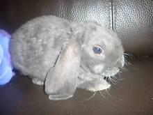 BEAUTIFUL TAME MINI LOP Bunny    READY  enquiries welcome.... Modbury Tea Tree Gully Area Preview