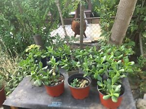 $10 Small Jade Bonsai Plants,  2 for $5 Spider Plant
