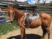 Riding Horse Chestnut TB gld Jindabyne Snowy River Area Preview