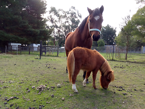 Minature pony foal 6 months old Woodend Macedon Ranges Preview
