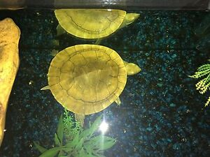 Gary the turtle and tank ,accessories and fish Rostrevor Campbelltown Area Preview