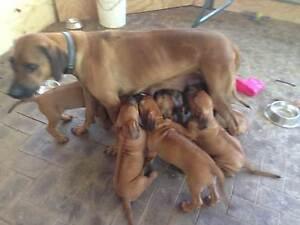 Kirenam Ridgeback Puppies For Sale Serpentine Serpentine Area Preview